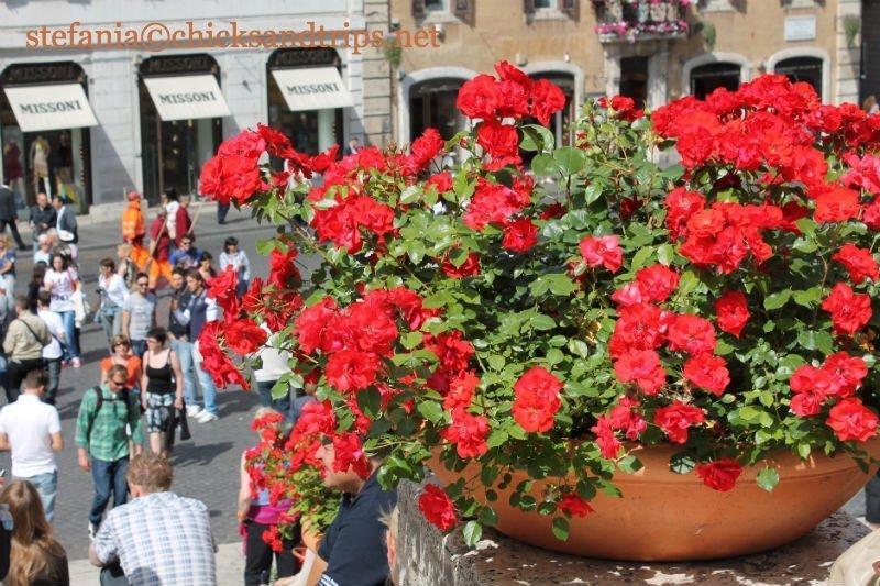 Gerani in Piazza di Spagna a ROma