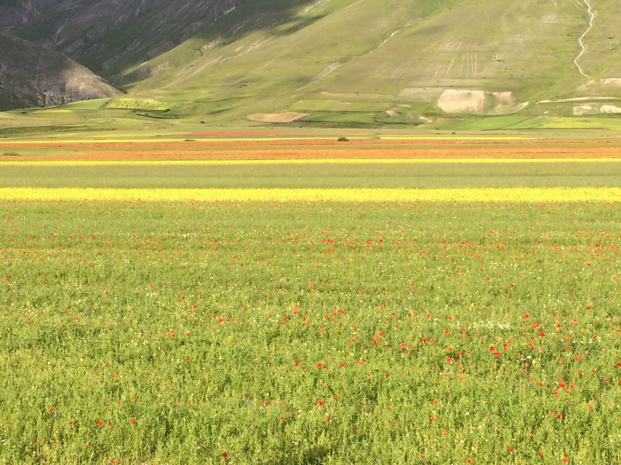 Castelluccio Norcia fioritura lenticchia