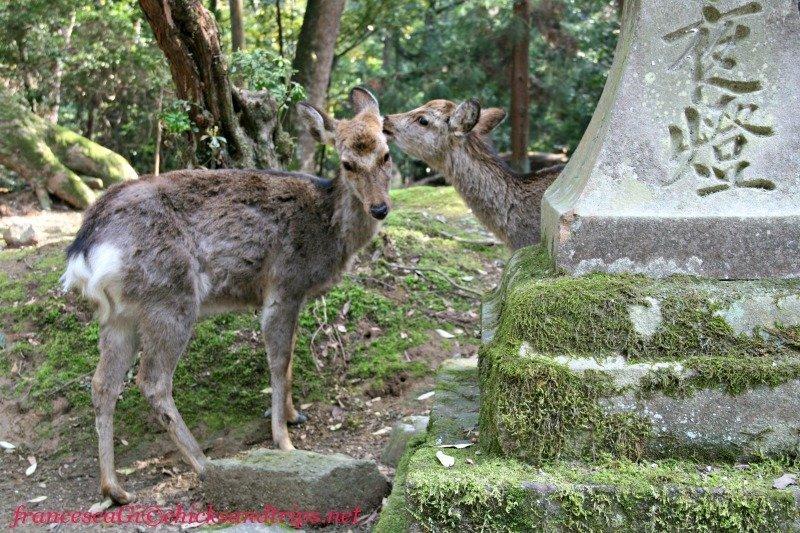 Cervi nel parco di Nara