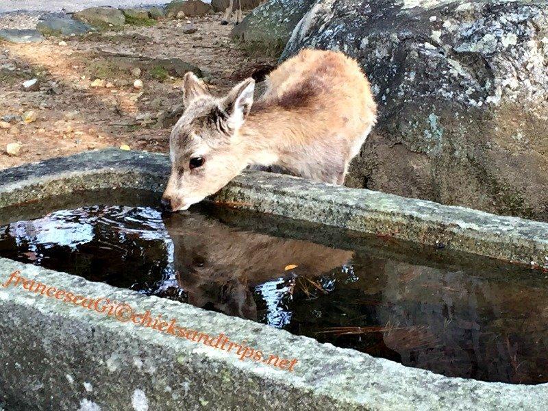 Cerbiatto nel parco di Nara