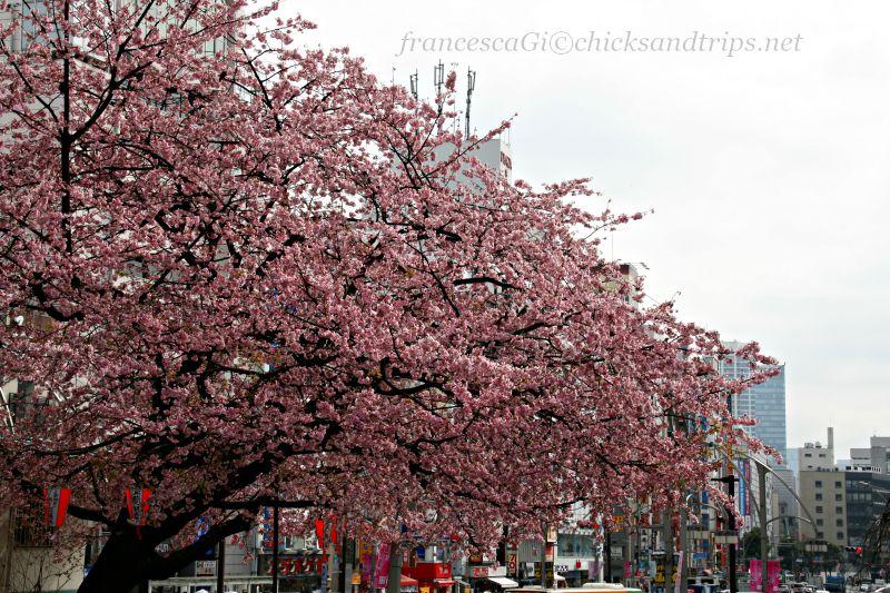 In Giappone tra sakura e hanami