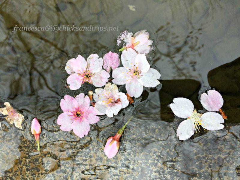Sakura al Parco Ueno di Tokyo