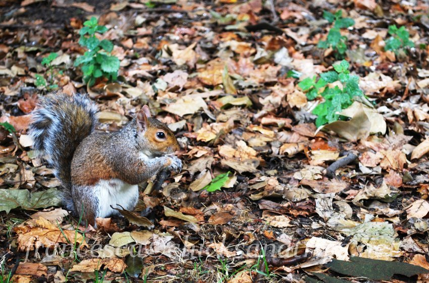 Regent's park Londra scoiattolo squirrel