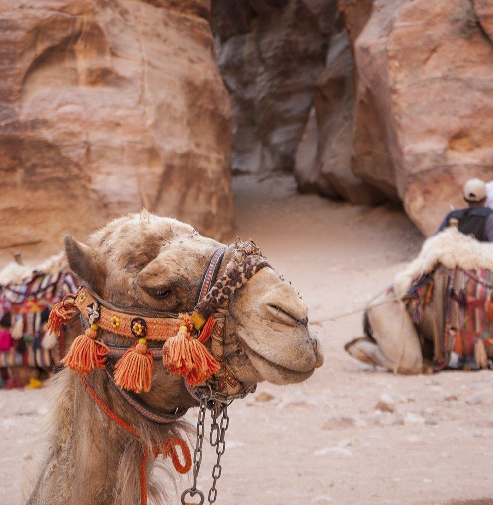 giordania sicura cammello petra giordania on the road