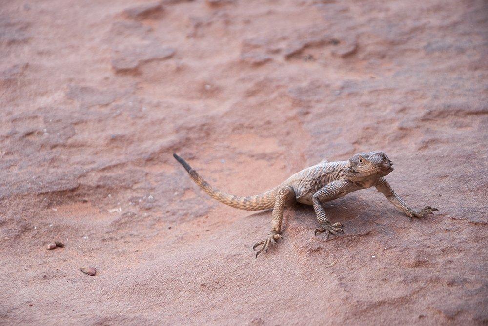 wadi rum lucertola lizard