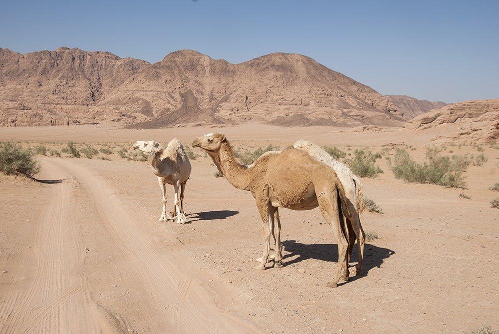 dromedari deserto giordania